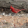 Northern Cardinal (Male)<br /> Busch Wildlife Conservation Area