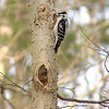 Downy Woodpecker (Male)<br /> Busch Wildlife Conservation Area