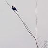 Red-wing Blackbird<br /> Busch Wildlife Conservation Area