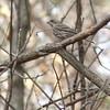 Purple Finch (Female)<br /> Busch Wildlife Conservation Area <br /> <br /> No. 56 on my Lifetime List of Bird Species <br /> Photographed in Missouri