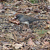 Slate-colored Junco (Male)<br /> Busch Wildlife Conservation Area