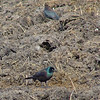 Rusty Blackbird (top)<br /> Possible Brewers ? (bottom)<br /> Seeberger, Church, and Dwyer roads