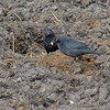 Rusty Blackbirds <br /> Seeberger, Church, and Dwyer roads <br /> 2006-03-18 <br /> <br /> No. 63 on my Lifetime List of Bird Species <br /> Photographed in Missouri.
