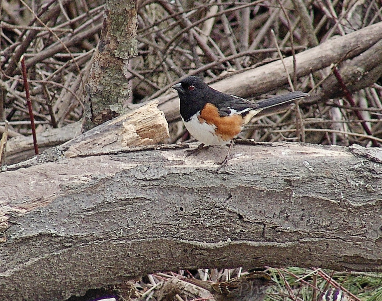 Eastern Towhee<br /> Busch Wildlife Conservation Area