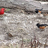 Eastern Towhees<br /> Northern Cardinal<br /> White-throated Sparrow<br /> ? Sparrow<br /> Busch Wildlife Conservation Area