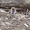 Harris' Sparrow<br /> Busch Wildlife Conservation Area