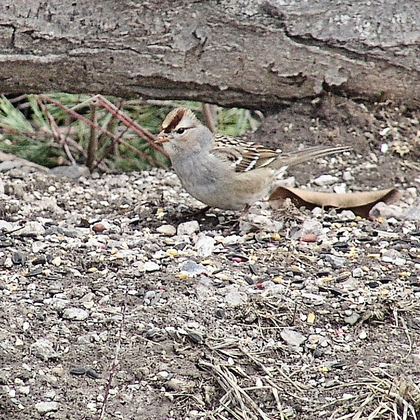 Immature White-crowned Sparrow <br /> Busch Wildlife Conservation Area