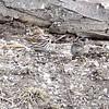 Fox Sparrow<br /> ? Sparrow<br /> Busch Wildlife Conservation Area