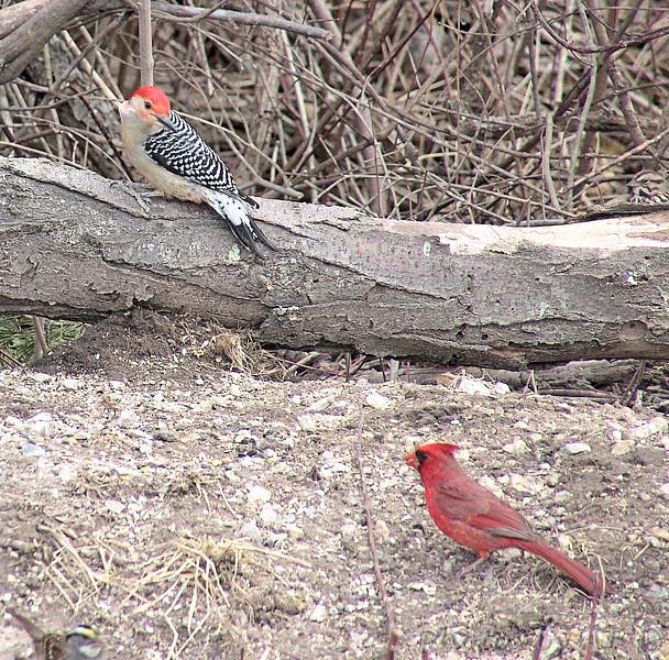 Red-bellied Woodpecker<br /> Northern Cardinal<br /> Busch Wildlife Conservation Area