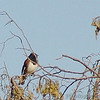 Eastern Towhee<br /> Shaw Nature Reserve