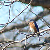 Eastern Bluebird<br /> Shaw Nature Reserve
