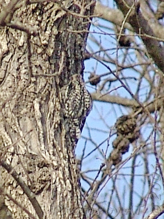 juvenile Yellow-bellied Sapsucker<br /> Shaw Nature Reserve