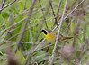 Common Yellowthroat <br /> St. Charles County<br /> <br /> No. 94 on my Lifetime List of Bird Species <br /> Photographed in Missouri