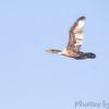 Double-crested Cormorant<br /> Riverlands Migratory Bird Sanctuary