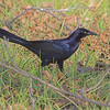 Great-tailed Grackle (Male)<br /> St. Charles County<br /> Seeburger & Dwyer Roads <br /> 2006-11-09<br /> <br /> No. 142 on my Lifetime List of Bird Species <br /> Photographed in Missouri.