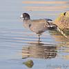 American Coot<br /> Riverlands Migratory Bird Sanctuary<br /> Lincond Shields