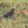 Rusty Blackbird<br /> St. Charles County<br /> Seeburger & Dwyer Roads