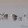 Snow Geese<br /> Riverlands Migratory Bird Sanctuary <br /> <br /> No. 141 on my Lifetime List of Bird Species <br /> Photographed in Missouri