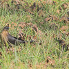Great-tailed Grackle (Female) and Rusty Blackbird<br /> St. Charles County<br /> Seeburger & Dwyer Roads