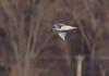 Bonaparte's Gull <br /> Creve Coeur Lake <br /> 2006-11-16