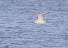 Bonaparte's Gull (1st winter) <br /> Creve Coeur Lake <br /> 2006-11-16 <br /> <br /> No. 147 on my Lifetime List of Bird Species <br /> Photographed in Missouri