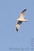 Ring-billed Gull<br /> Creve Coeur Lake <br /> 2006-11-16