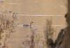 Pied-billed Grebe <br /> Creve Coeur Lake <br /> 2006-11-17