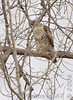 Red-tailed Hawk<br /> Creve Coeur Lake <br /> 2006-11-17