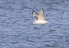Bonaparte's Gull<br /> 1st winter<br /> Creve Coeur Lake <br /> 2006-11-16