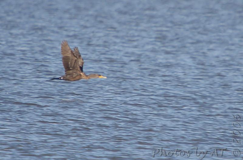 Double-crested Cormorant <br /> Riverlands Migratory Bird Sanctuary