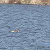 Common Loon <br /> Riverlands Migratory Bird Sanctuary
