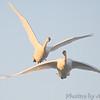 Trumpeter Swans <br /> Riverlands Migratory Bird Sanctuary