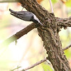 White-breasted Nuthatch <br /> Unger County Park and Castlewood State Park