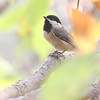 Carolina Chickadee <br /> Unger County Park and Castlewood State Park