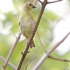 American Goldfinch <br /> Unger County Park and Castlewood State Park