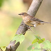 Yellow-rumped Warbler (Myrtle's) <br /> Unger County Park and Castlewood State Park