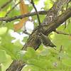 Golden-crowned Kinglet <br /> Unger County Park and Castlewood State Park