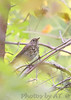 Hermit Thrush<br /> St. Stanislaus CA <br /> <br /> No. 139 on my Lifetime List of Bird Species <br /> Photographed in Missouri