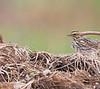 Savannah Sparrow<br /> St. Stanislaus CA