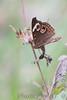 Common Buckeye<br /> St. Stanislaus CA