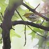 Black-throated Green Warbler (Female) <br /> City of Bridgeton <br /> St. Louis County, Missouri <br /> 2006-10-18