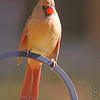 Northern Cardinal <br /> City of Bridgeton <br /> St. Louis County, Missouri <br /> 2006-10-20