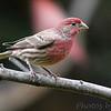 House Finch (Male) <br /> City of Bridgeton <br /> St. Louis County, Missouri <br /> 2006-10-25