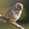 House Sparrow <br /> City of Bridgeton <br /> St. Louis County, Missouri <br /> 2006-10-20