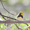 Black-throated Green Warbler (Male) <br /> City of Bridgeton <br /> St. Louis County, Missouri <br /> 2006-10-05