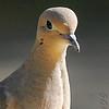 Mourning Dove <br /> City of Bridgeton <br /> St. Louis County, Missouri <br /> 2006-10-20