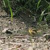 Common Yellowthroat<br /> Busch Wildlife CA<br /> Lake 6