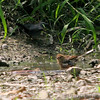 Female Eastern (Rufous-sided) Towhee<br /> Gray Catbird<br /> Busch Wildlife CA<br /> Lake 6