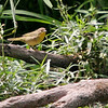 Possibly a Female Common Yellowthroat<br /> Busch Wildlife CA<br /> Lake 6