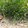 """Hey! Save me some hot water""""<br /> Brown Thrashers<br /> Busch Wildlife CA<br /> Bath time lake 6"""